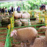 Събор на овцевъдите (1)